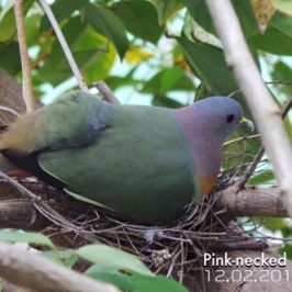 Pink-necked Green-pigeons set up home at Commonwealth Secondary School