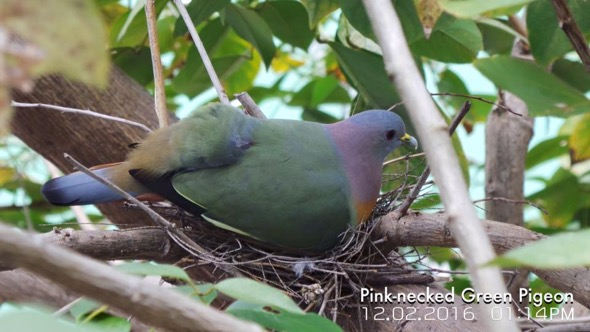 Male Pink-necked Green-pigeon sitting in the nest during the day (Photo credit: Jack Sum]