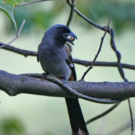 Grey Treepie – feeding
