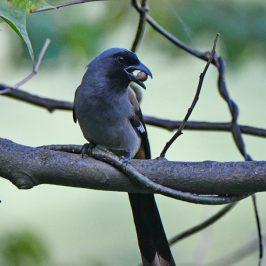 Grey Treepie – feeding