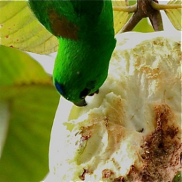 Blue-crowned Hanging-parrot feeding on guava