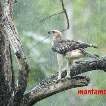 Changeable Hawk-eagle taking a shower