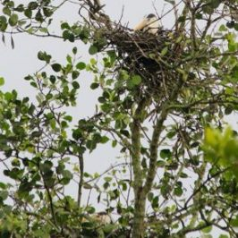 Nesting Grey Herons: 4. Incubation