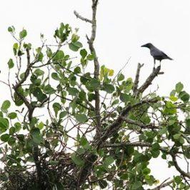 Nesting Grey Herons: 5. Predation