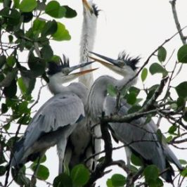 Nesting Grey Herons: 7. Feeding ritual