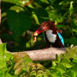 White-throated Kingfisher (Almost) Eat a Caterpillar