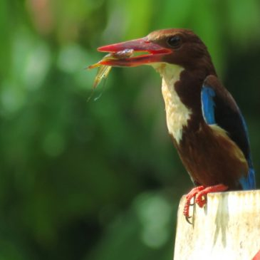 WHITE-THROATED KINGFISHER WITH FISH PREY