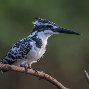 Pied Kingfisher and hovering
