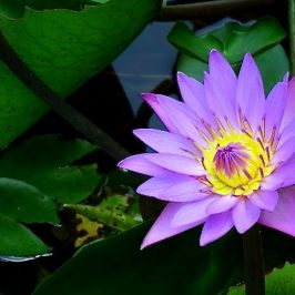 GIANT HONEY BEES VISIT WATER LILIES