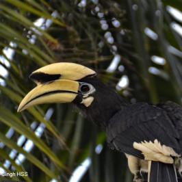 Oriental Pied Hornbill – social group