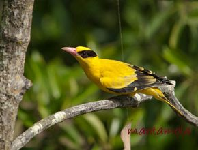 Black-naped Oriole collecting spider's silk