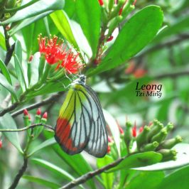 Teruntum Merah visited by Butterflies