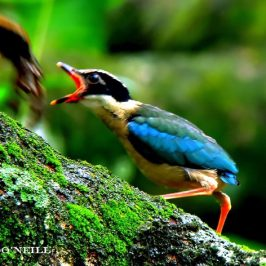 © Monitoring Series of Blue-winged Pitta 2016: Blue-Winged Pitta Feeds Day Old Fledgling Part 2