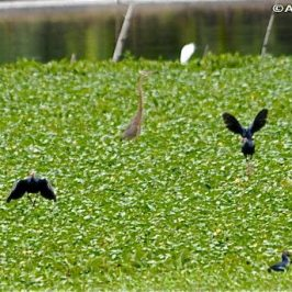 Purple Swamphen: Social behaviour and calls