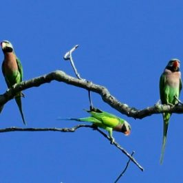 RED-BREASTED PARAKEETS SUNBATHING