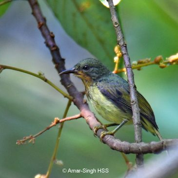 Ruby-cheeked Sunbird – juvenile males