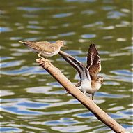 Common Sandpiper: Sex for pleasure?