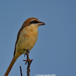 Subspecies of Brown Shrike