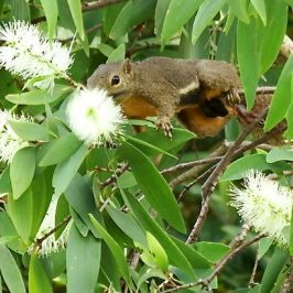 SQUIRREL LICKING UP NECTAR OF GELAM FLOWERS