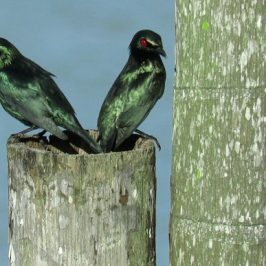 ASIAN GLOSSY STARLING – NEST SITE INSPECTION