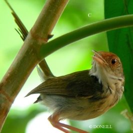 © Nesting Common Tailorbirds – One Full Circle Part 3