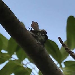 Grey-rumped Treeswift at Bishan Park: 2. Brooding to Fledging