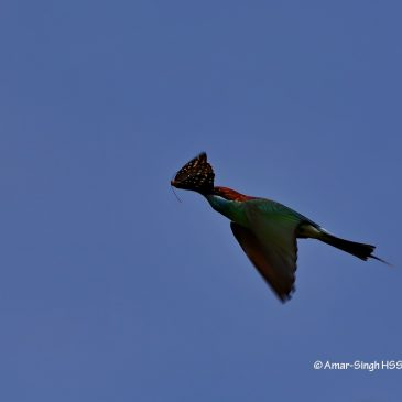 Blue-throated Bee-eater – prey and calls