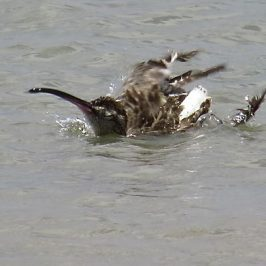 WHIMBRELS BATHING and PREENING