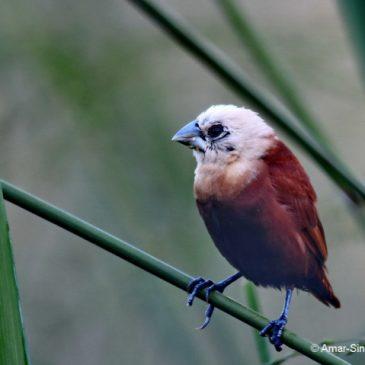 White-headed Munia – adult/immature/juvenile plumage and 6 calls