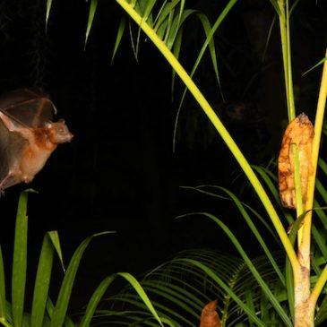 Attracting bats to your garden…