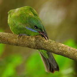 1-leafbird-choo-2.jpg
