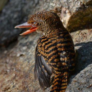 Banded Kingfisher injured female