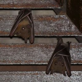 Bats Roosting in my porch: 2. Looking for a solution