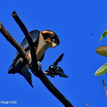 Black-thighed Falconet – juveniles/family