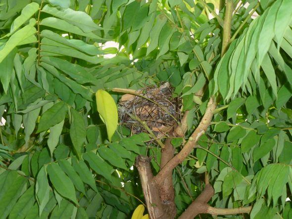 Red-whiskered Bulbul: 5. Nest