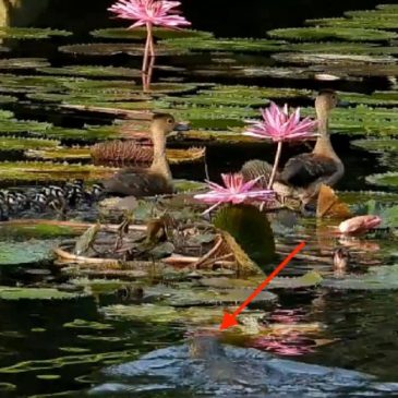 Lesser Whistling-ducks: Call for the protection of the 11 ducklings