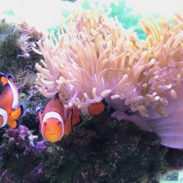 Spawning of Ocellaris Clownfish in our Marine Aquarium