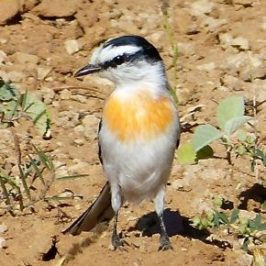 Jerdon's Minivet foraging on the ground