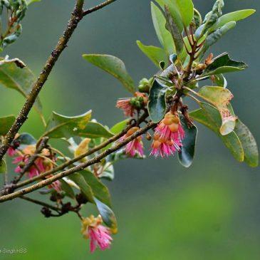 Orange-bellied Leafbird – nectar feeding