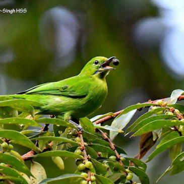 Birds feeding on the fruits of Bridelia tomentosa