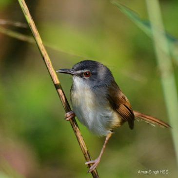 Rufescent Prinia – family group and vocalisation