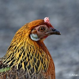 Red Junglefowl: An odd female and the male's spur