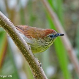 Pin-striped Tit-babbler – contact calls