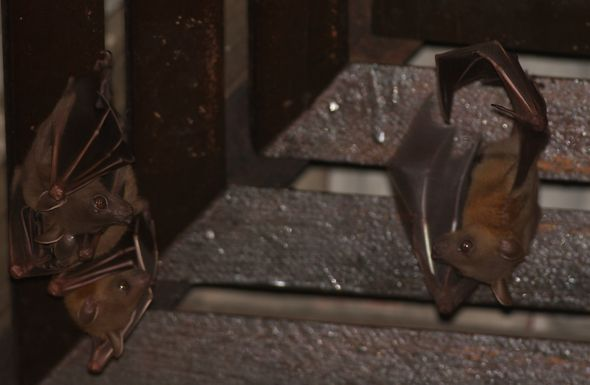 Bats in my porch: 19. Does the male help look after the pup?