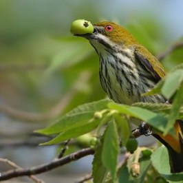 Yellow-vented Flowerpecker eating the Indian cherry