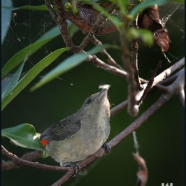 Scarlet-backed Flowerpecker picking spider's web