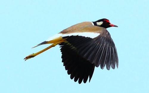 Red-wattled Lapwing defending its chick