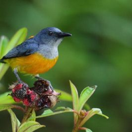 Orange-bellied Flowerpecker and melastoma