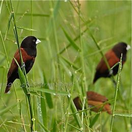 Munia eating grass seeds II