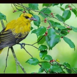 Juvenile Black-naped Oriole eating figs